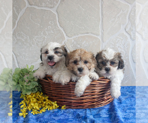 Zuchon Puppy for sale in GORDONVILLE, PA, USA