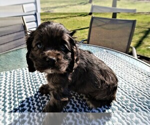 Cocker Spaniel Puppy for sale in INDIANAPOLIS, IN, USA