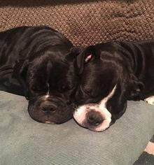 Olde English Bulldogge Puppy For Sale in ENTERPRISE, AL