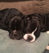 Olde English Bulldogge Puppy For Sale in ENTERPRISE, AL