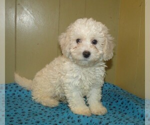 Shih-Poo Dog for Adoption in PATERSON, New Jersey USA