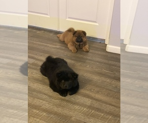 Chow Chow Puppy for sale in VICTORVILLE, CA, USA