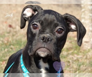 Boxer Puppy for sale in ELKLAND, MO, USA