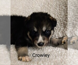 Wolf Hybrid Puppy for Sale in BYBEE, Tennessee USA