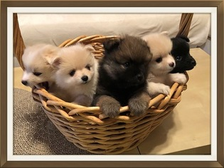View Ad Pomeranian Puppy For Sale New Jersey Brick Usa