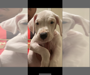 Dogo Argentino Puppy for sale in LAWRENCEVILLE, GA, USA