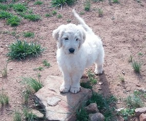 Goldendoodle Puppy For Sale in LOCUST GROVE, GA