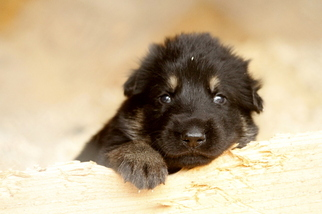 German Shepherd Dog Puppy For Sale in PORTLAND, OR, USA
