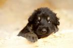 German Shepherd Dog Puppy For Sale in PORTLAND, OR, USA