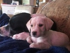 Puppy 2 Labradoodle-Poodle (Toy) Mix