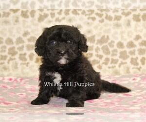 Cavachon Puppy for sale in DENVER, PA, USA