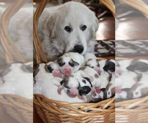 Great Pyrenees Puppy for Sale in TOWNSEND, Massachusetts USA