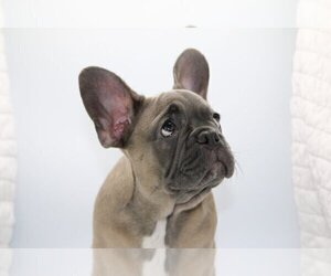 French Bulldog Puppy for sale in TALLEYVILLE, DE, USA