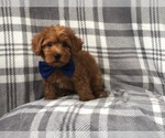 Small Photo #2 Shih Tzu-Yorkie-Poo Mix Puppy For Sale in LAKELAND, FL, USA