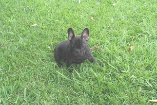 French Bulldog Puppy for sale in GRAND TERRACE, CA, USA