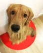 Golden Retriever Puppy For Sale in HARRISON, NJ