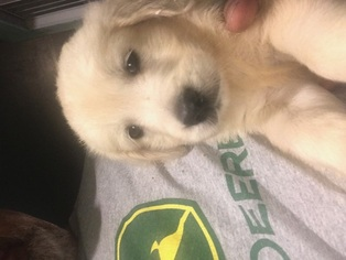 Golden Retriever Puppy For Sale in SAINT CHARLES, IL, USA