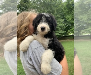 Bordoodle Puppy for Sale in CRESTON, Ohio USA