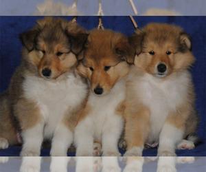 Collie Puppy for sale in JACKSON, MI, USA