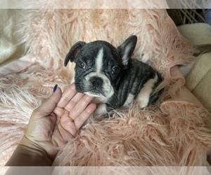 French Bulldog Dog for Adoption in BOSTON, Massachusetts USA