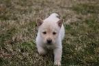 Small #2 Labrador Retriever-Siberian Husky Mix