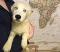 Siberian Husky Puppy For Sale in CEDAR RAPIDS, IA,