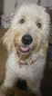 Bruno Home raised F1 Goldendoodle puppy