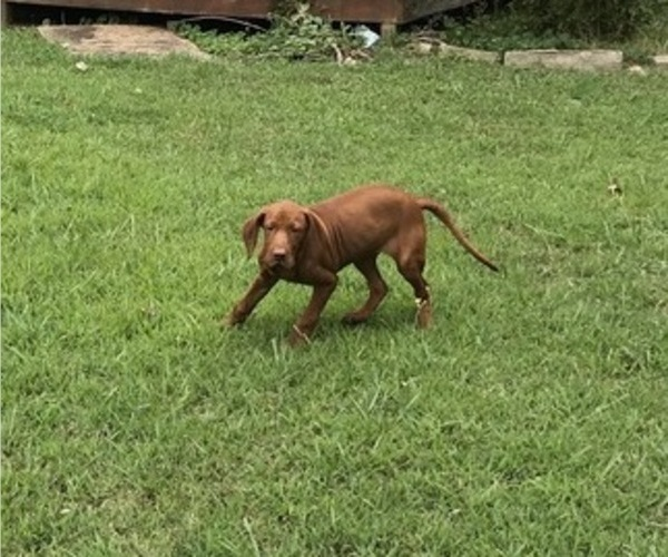 Medium Photo #5 Vizsla-Weimaraner Mix Puppy For Sale in KILLEN, AL, USA