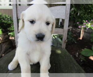English Cream Golden Retriever Puppy for sale in BATTLE CREEK, MI, USA