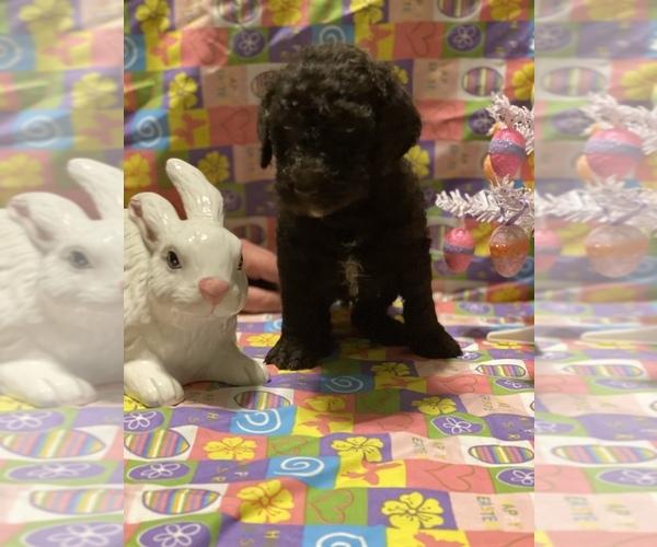 Medium Photo #4 Labradoodle Puppy For Sale in COWARD, SC, USA