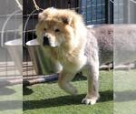 Small #36 Chow Chow