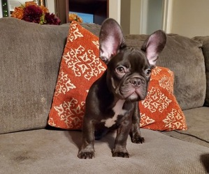 French Bulldog Puppy for sale in FULLERTON, CA, USA