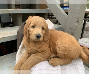 Goldendoodle Puppy for Sale in CYPRESS, Texas USA