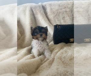 Biewer Terrier Puppy for sale in RANCHO CALIFORNIA, CA, USA