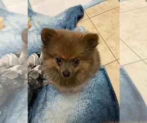 Pomeranian Puppy for sale in BREINIGSVILLE, PA, USA