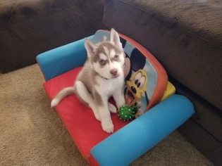 Siberian Husky Puppy for sale in FRISCO, TX, USA