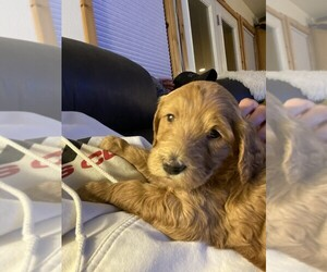 Goldendoodle Puppy for sale in WHITEFISH, MT, USA