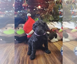 Double Doodle Puppy for sale in AURORA, CO, USA