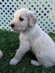 Goldendoodle Puppy For Sale in HIRAM, OH, USA