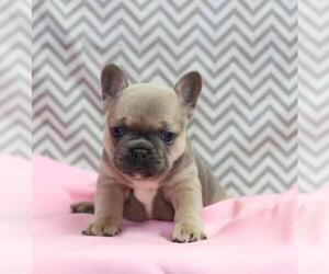 French Bulldog Dog for Adoption in ZEPHYRHILLS, Florida USA