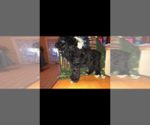Poodle (Standard) Puppy for Sale in SPENCER, Tennessee USA