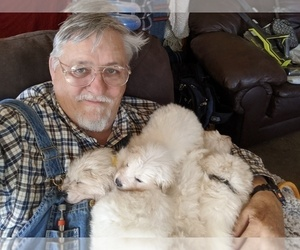 Maremma Sheepdog Puppy for Sale in THORN HILL, Tennessee USA