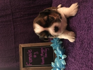 Shih Tzu Puppy For Sale in CLAY CITY, KY