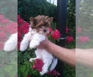 Biewer Yorkie Puppy for sale in HOLLYWOOD, FL, USA