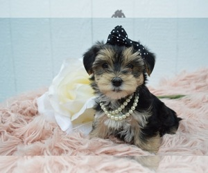 Morkie Puppy for sale in HONEY BROOK, PA, USA