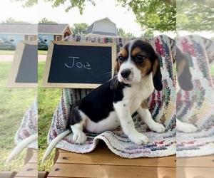 Beaglier Puppy for sale in GRABILL, IN, USA