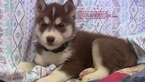 Puppy 7 Siberian Husky
