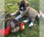Puppy 9 Akita