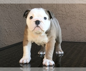 Bulldog Puppy for sale in SUISUN CITY, CA, USA