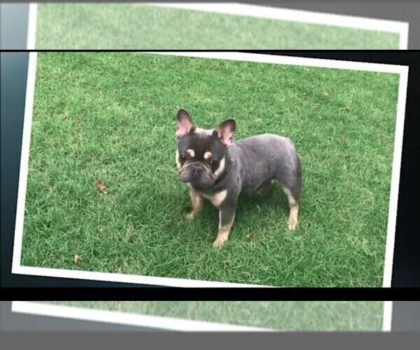Medium Photo #1 French Bulldog Puppy For Sale in FLEMING ISLAND, FL, USA
